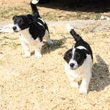 Running puppies Royalty Free Stock Photography