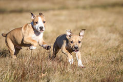 Running puppies Stock Image