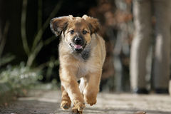 Running puppy. Close-up of a running hovawart dog puppy Stock Photo