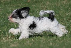 Running puppy. Small puppy running through the grass stock photo