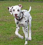Running puppy. Pretty Dalmatian puppy running across the grass stock photos