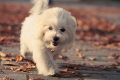 Running Puppy. Small dog playing in the park Stock Images