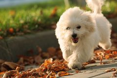 Running Puppy. Small dog playing in the park Stock Photo