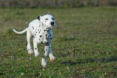 Running puppy dalmatian Stock Photography