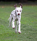 running puppy dog Royalty Free Stock Images