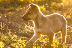 Running puppy dog. Close up portrait. Running puppy dog in a green meadow outdoor Stock Photography