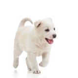 Running puppy dog. On white Royalty Free Stock Image