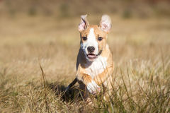 Running puppy Stock Photography