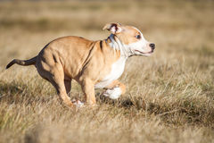 Running puppy Royalty Free Stock Photos