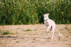 Running Puppy Of Russian Wolfhound Hunting Sighthound Russkaya Psovaya Borzaya Dog. Outdoors Royalty Free Stock Photos