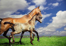 Running purebred akhalteke dam with foal at sky background Royalty Free Stock Images