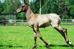 Running purebred akhalteke foal in the paddock Royalty Free Stock Image