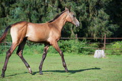 Running purebred akhalteke foal in the paddock Stock Images