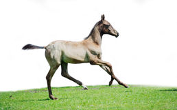 Running purebred akhalteke foal  at white background Stock Photos