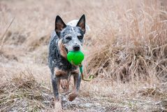 Running purebred dog with a green bal royalty free stock photography