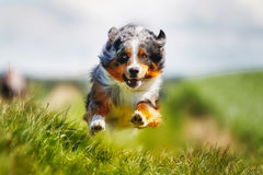 Running purebred dog Stock Images
