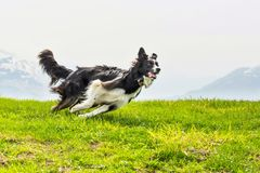 Free Running Quick And Elegant Dog Border Collie Royalty Free Stock Photo - 69760665