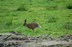 Running rabbit Royalty Free Stock Photos
