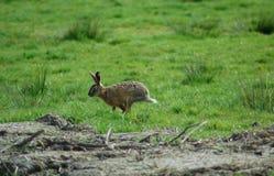 Running rabbit Royalty Free Stock Photos