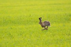 Running rabbit. European hare running on a green meadow, Estonia Stock Photo