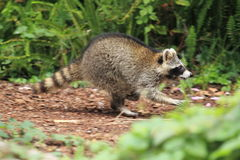 Running raccoon. On the soil Stock Photography