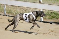 Running racing greyhound dog on racing track. Greyhound dog racing at dog race court royalty free stock photography