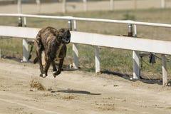 Running racing greyhound dog on racing track Stock Photography