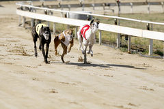 Running racing greyhound dogs on racing track. Sprinting dynamic greyhounds on the race course royalty free stock image