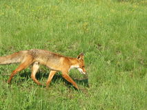Running Red Fox in May in the Central Russia. Red fox running in the spring time sunny May day on the green grass medow Stock Photos