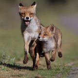 Running red foxes Stock Images