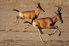 Running red hartebeest Royalty Free Stock Images