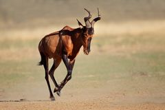 Running red hartebeest Royalty Free Stock Photography