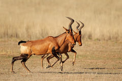 Running red hartebeest Stock Photography