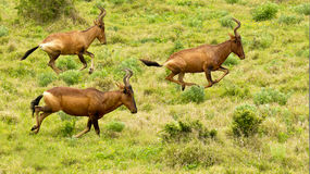 Running red hartebeest Stock Images