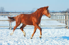 Running red horse Stock Photos