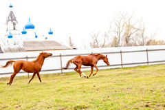 Running red horse Royalty Free Stock Photos