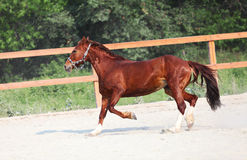 Running red horse on farm Royalty Free Stock Image
