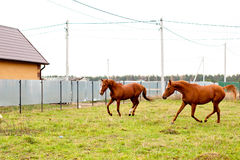 Running red horses Royalty Free Stock Photo
