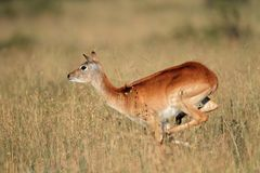 Running red lechwe antelope Stock Photo