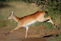 Running red lechwe antelope Royalty Free Stock Photos