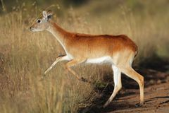 Running red lechwe antelope Stock Images