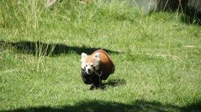 Running red panda bear. In zoo Madrid royalty free stock image