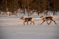Running reindeer Stock Photography