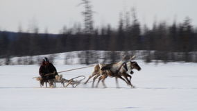 Free Running Reindeers Royalty Free Stock Photography - 39010537