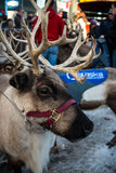 Running the reindeers - Anchorage Alaska animal antlers face Royalty Free Stock Photo