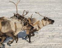Running reindeers Stock Image