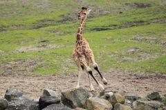 Running reticulated giraffe Stock Image