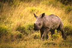 Running rhino cub. A rhino cub running to its mother Royalty Free Stock Photo