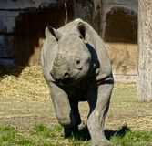 Running Rhino. A six month of black rhino chasing after a duck which is out of picture stock image