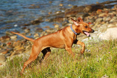 Running Ridgeback Stock Photo